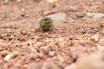 Chameleon tries to pass unnoticed across the road