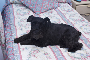 Black dog resting on the bed