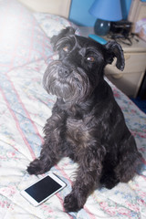 Black dog with mobile phone on the bed