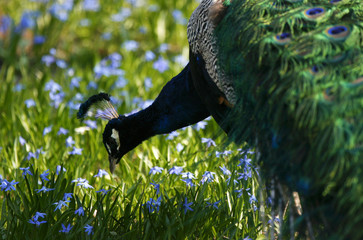 A peacock is seen during a warm spring day at Lazienki Park in Warsaw