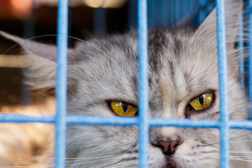 Maine Coon in cat cage