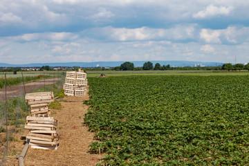 Erdbeer Feld Ernte