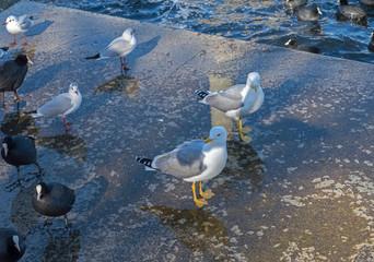 sea gulls and  Ducks