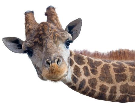 Giraffe head face