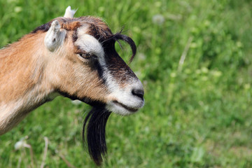 goat in a meadow. photo