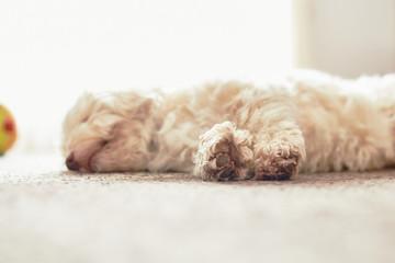 Havanese dog snoozing on the carpet