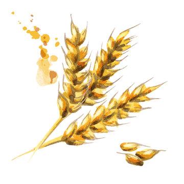Barley. Malt. Watercolor