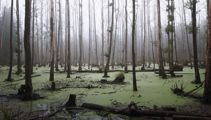 Panoramic view of a misty swamp in the forest with copy space