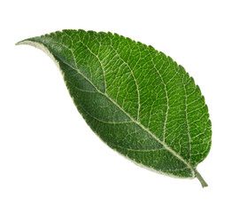 Apple tree leaf isolated