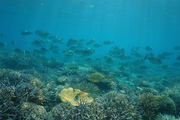 Shoal of tropical fish bluespine unicornfish,Naso unicornis, underwater on a coral reef, south Pacific ocean, New Caledonia