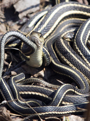 Red-sided garter snakes for a mating ball outside their winter den in Narcisse