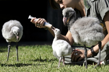 Chilean flamingos are fed by a zookeeper in their cage at the Buenos Aires Zoo, March 23, 2005. The ..