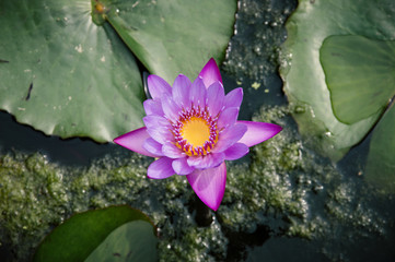 Pink water lily in a pond - Stock image