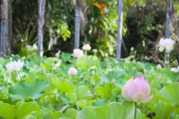 Lotus flower in Botanical Gardens of Mauritius