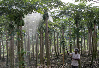 A worker sprays an insecticides on papaya trees at a plantation in Bernang, near Kuala Lumpur