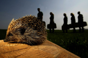 HEDGEHOG SAVED FROM CULL BY HESSILHEAD WILDLIFE RESCUE CENTRE WORKERSIN BEITH.