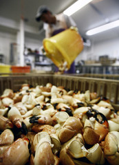 Worker selects stone crab claws at a factory in Marathon in the Florida Keys