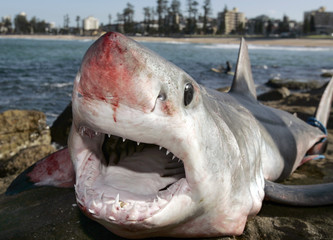 Dead Mako shark which was washed onto rocks is photographed at Queenscliff beach in Sydney