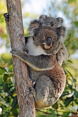 Garden Poster Koala Koalas mother and baby - Gold Coast, Queensland Australia