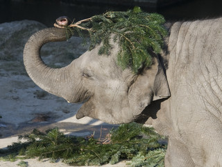 Thirty-month-old Thai elephant 'Marlar' covers his head with part of an unused Christmas tree at  Cologne zoo