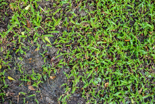 Texture background of green grass and wet ground