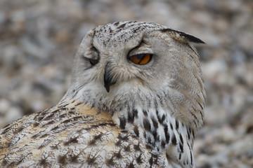 Eule Close-Up verschlafen