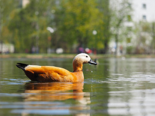 Beautiful redhead duck floating in the pond.
