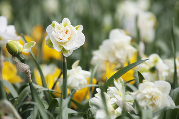 White Narcissus (Daffodils) flowers