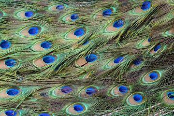 Image of a peacock feathers. wild animals.