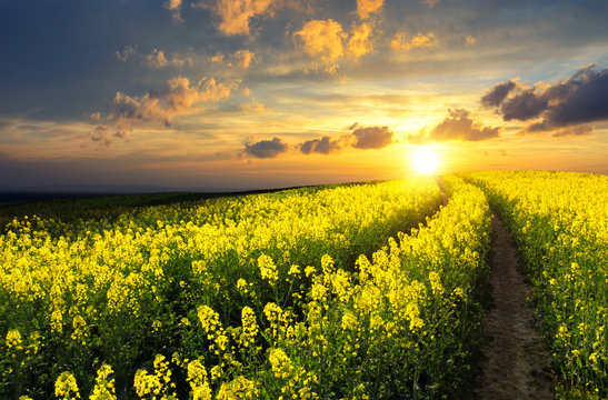 Blossoming rapeseed field leading to the beautiful sunset sky