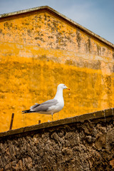 Mouette sur un mur de Porto Santo Stefano en Toscane