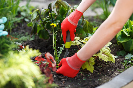 Photo of gloved woman hand holding weed and tool removing it from soil.