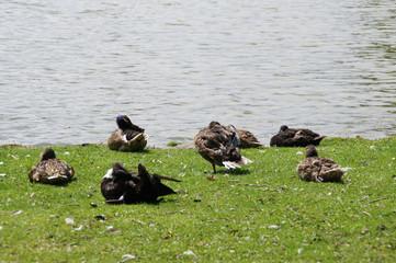 Enten schlafen am sonnigen Seeufer