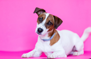 photo of cute jack tussel terrier