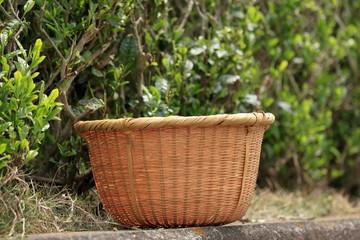 Green tea leaves hand picking