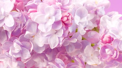 Fotoväggar - Lilac flowers background. Beauty fragrant lilac tiny flowers opening closeup. 4K UHD video 3840X2160