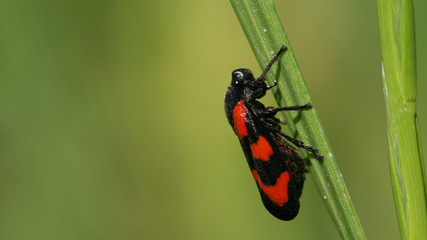 Red Blister Beetle