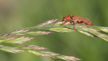 Coomon Red Soldier Beetle
