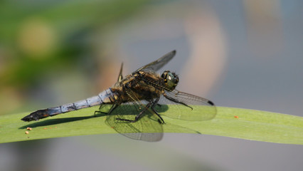 Broad Bodied Darter