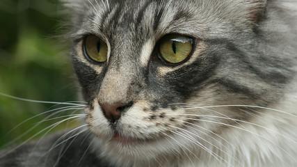 Norwegian Forestcat