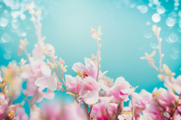 Beautiful pink blossom of magnolia with sun shine and bokeh at turquoise sky background, front view, floral border