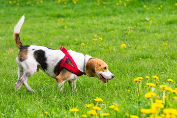 Beautiful funny beagle dog playing outdoors at spring or summer park.
