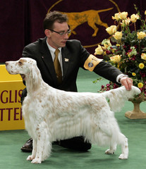 English setter strikes pose during judging in Westminster Kennnel Club show.