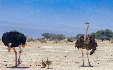 Male and Female of African ostrich (Struthio camelus) with young chicks in nature reserve park, 35 km north of Eilat, Israel