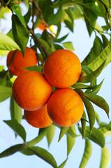 ripe oranges hanging on tree