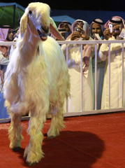 People take photographs of a Maaz Al Shami during the Mazayen al-Maaz competition in Riyadh