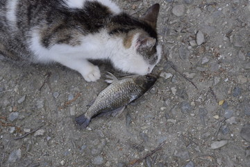 The cat eats live fish. Fish catch. Feeding the cat with fish.