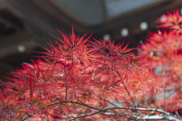 Autumn red foliage of Acer japonicum, also called fernleaf maple, the Amur maple, downy Japanese-maple or fullmoon maple
