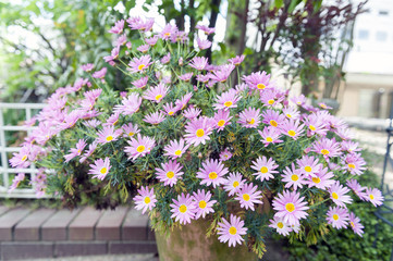 Flower pot of Aster cordifolius - pink flowers during blossom season in botanic garden