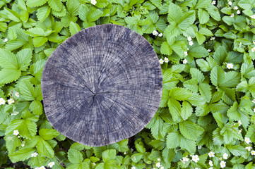 Cross section cut of tree stump surrounded by green leaves background